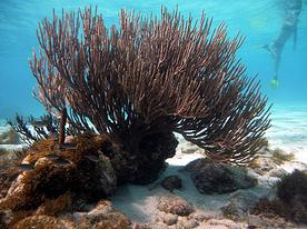 I coralli: Tobago Cays, Grenadine